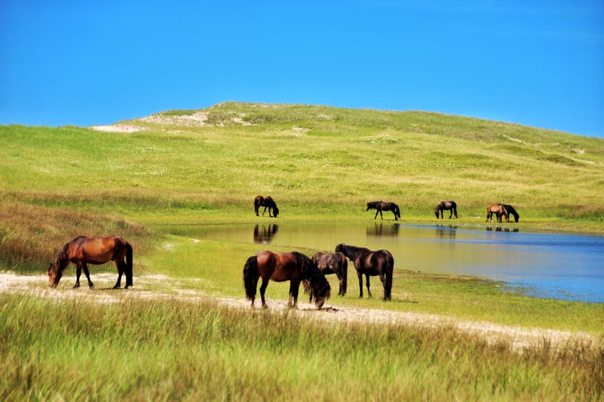Sable Island horses gather around the pond. To help protect the ecosystem, visitors must sanitize their shoes before visiting, and Parks Canada regulations require that nothing be removed from the island, even a single speck of sand. - Darcy Rhyno