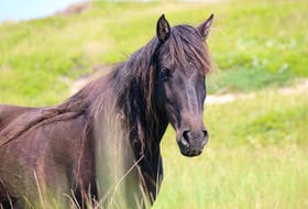 A wild Sable Island horse watches visitors curiously.