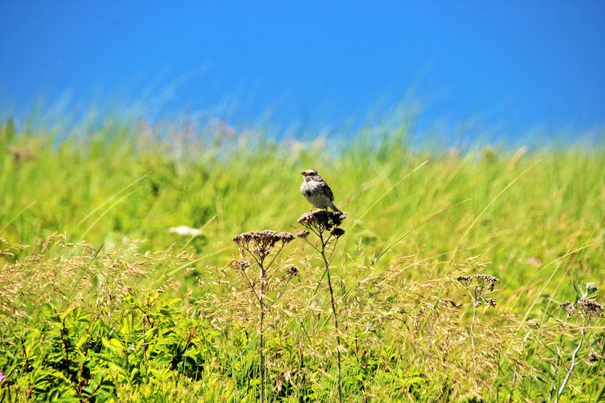 One of the island's 10 endemic species include the Ipswich sparrow, which nests at the crowns of dunes. - Darcy Rhyno