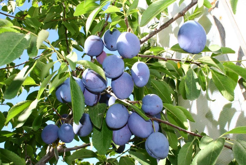Prune plums thrive in the Alberta sunshine but need the right fertilizer to fruit.