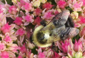 Diane Bacon sent this photo of a bee gathering pollen from flowers in her Upper Nappan, N.S. yard. She said it was a busy bee before Larry arrived. Nova Scotia, for the most part sat out Larry as it aimed at Newfoundland's Avalon Peninsula.