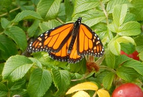 What a beauty.  Peter G. Wells was hiking a rough, coastal trail on the unpopulated backside of Brier Island, N.S., when he spotted the monarch sitting on a rosebush. It was a sunny morning; Peter saw grey seals and seabirds, but this little guy (gal) caught his full attention. Peter reminds us that the monarchs are now migrating southwest across the Gulf of Maine; quite a feat for such a small creature and one of nature's truly amazing events.