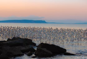 """Geralyn Howell of Canada Creek, N.S. snapped this stunning photo of semipalmated sandpipers in Grand Pré. The sandpipers feed on the invertebrates in the sand to prepare for their long trip to South America around early to mid-September. """"It's quite stunning to watch and capture them with the shore in the foreground and Cape Blomidon in the background. It was really rewarding and worth every bug bite."""""""