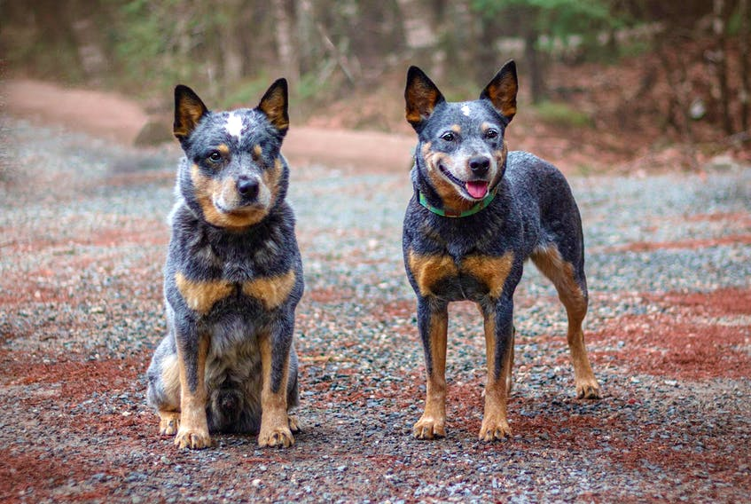 Cindy Cavanagh has plenty of advice for dog owners who are worried about leaving their dogs home alone after spending lots of one-on-one time together while working from home during the pandemic. Pictured here are her dogs, Billie and Joey.