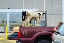 Calves in what appears to be a large dog kennel caused concern among many passersby when seen at a local grocery store parking lot earlier this week. Contributed