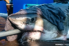Sept. 17 2021 - Great white shark Hali was tagged off West Ironbound Island on Sunday. - OCEARCH