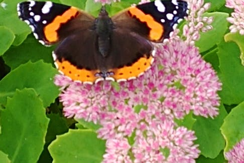 When hurricane Larry made landfall on the west side of the Avalon on Sept. 11, many things were blown around.  Once the storm cleared, Don Simms found this lovely butterfly resting on a sedum in his yard in Mount Pearl, N.L. I wasn't sure what kind of butterfly it was, so I looked it up.  Here's what I found.  This beauty is a Vanessa Atalanta or red admiral: a medium-sized butterfly with black wings, reddish bands, and white spots.