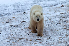 In this file photo, a young male polar bear waits for the sea ice to return in the Churchill Wildlife Management Area, in Manitoba on Oct. 27, 2020.