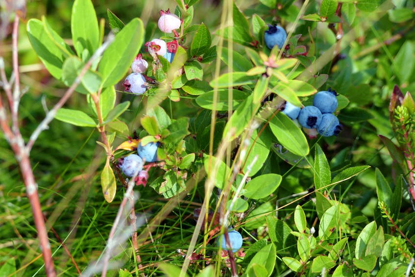 What do Atlantic Canadians love more than blueberries? Not a lot. Picking your own and freezing them is a great way to enjoy the flavour all year round. - Keith Gosse