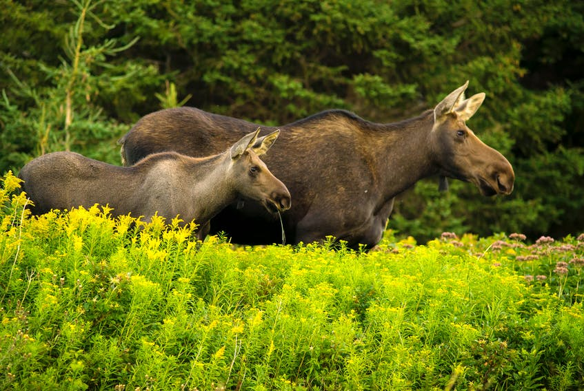 Cape Breton nature photographer Kris Tynski is well-known for his ability to capture wildlife in their natural state, like these moose he photographed a few years ago. CONTRIBUTED