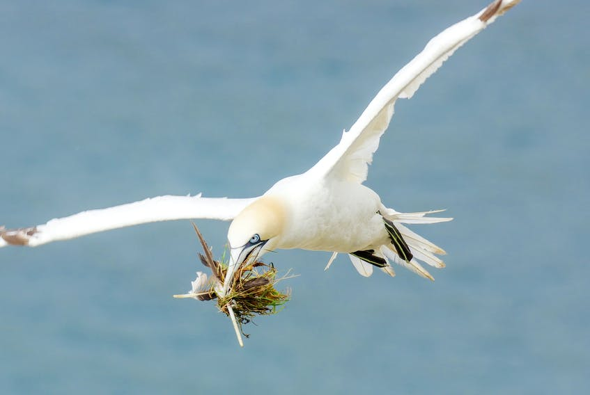 The gannet colony at the Cape St. Mary's Ecological Reserve was hit hard by Hurricane Larry and hundreds of birds were either found dead, injured, or stranded in its wake.