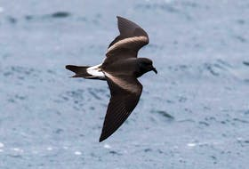The lightweight Leach's storm-petrel is a fighter in a storm at sea but becomes helpless on solid ground.