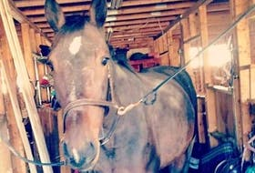Deuce, a horse Sara Woodman of New Harbour is accused of starving to the point it had to be euthanized, is shown in a photo taken from Facebook. Woodman previously pleaded guilty to animal-cruelty charges, but has been granted permission to withdraw her plea and go to trial instead.