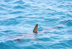 Shark dorsal fins are a distinctive triangle that protrudes upwards much straighter than those of other marine animals. Photo by Owen Harding on Unsplash
