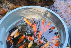 Rosie MacFarlane, freshwater fisheries biologist for the province, says goldfish recovered from Winter River were quite large and were likely in a someone's backyard pond before showing up in the watershed. Contributed