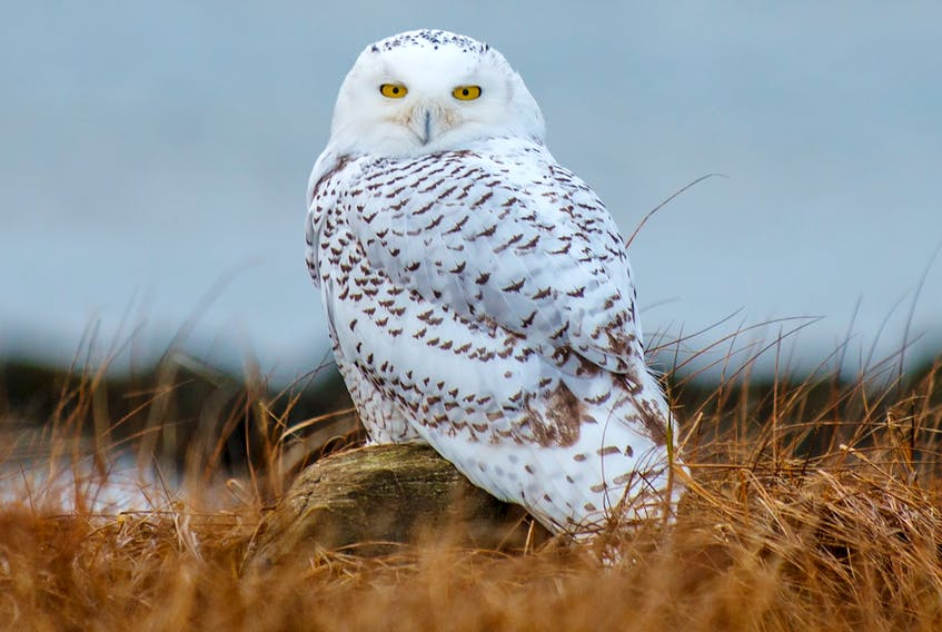 A photo of a Snowy Owl taken on the Big Point property in 2014. The Chebogue Point area is a highly important migratory bird pathway and is popular with birders. Bill Curry Photo