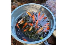 Rosie MacFarlane, freshwater fisheries biologist for the province, says goldfish recovered from Winter River were quite large and were likely in a someone's backyard pond before showing up in the watershed.