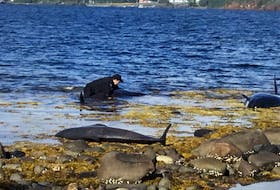 Newfoundland and Labrador resource enforcement officer Ryan Collier is getting praise this week after his quick actions helped save seven pothead whales that were beached near the Town of Embree in Notre Dame Bay.