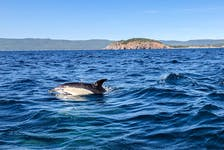 MacKinnon said he'd never seen so many dolphins together in a pod in his 18 years as a captain with Keltic Express. JESSICA SMITH/CAPE BRETON POST