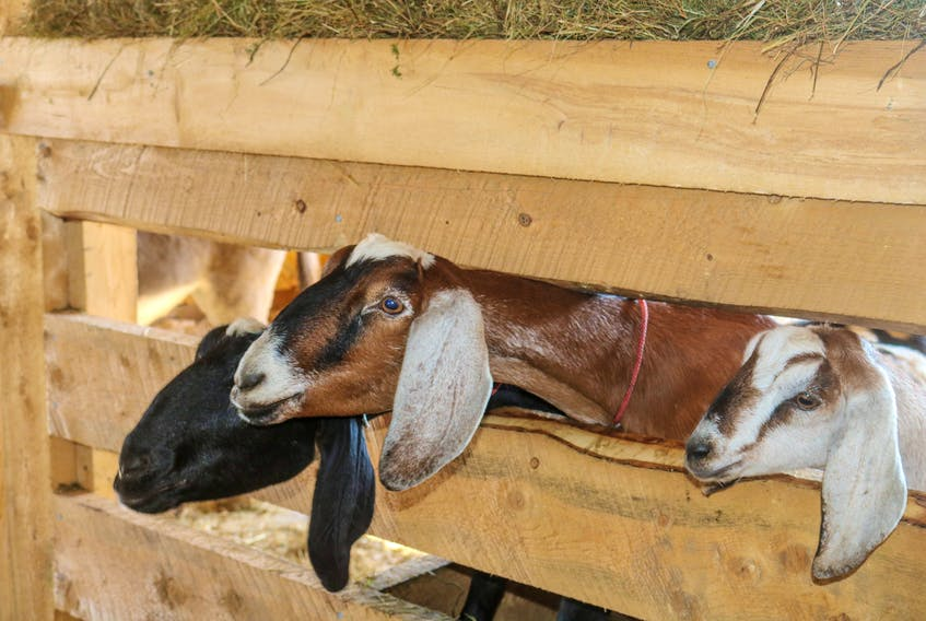 The Groovy Goat Barn & Soap Company's goats poke their heads out of their stall for a midday snack. The Ingonish company lost all its goats after a massive fire in late February 2021 that also destroyed its barn. They are in the process of rebuilding the barn and received more goats from farms in Saskatchewan in late July. JESSICA SMITH • CAPE BRETON POST