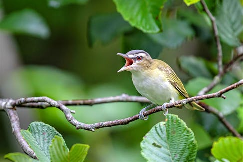 Large expanses of deciduous forest, particularly deciduous trees with large leaves (such as maples), typify Red-eyed Vireo habitat during the breeding season. On migration, look for them in nearly any type of forest, woodland, or woodlot. Ervin Olsen Photo