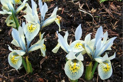 Dwarf irises like this 'Katherine Hodgkin' are among the many small flowering bulbs that fit well into gardens.