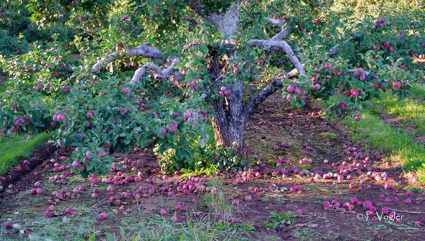 High winds wreaked havoc on the apple industry in Nova Scotia's Annapolis Valley. Some of the early apple varieties that were ready to come down got a little help from Mother Nature. Phil Vogler took this stunning statement photo in the wake of Dorian. - contributed