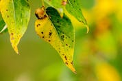 Leaves losing their colour early and developing black spots may be suffering a fungal disease.