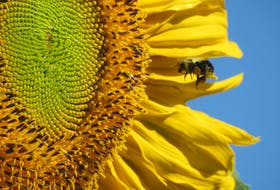 """Barry Cottam of Corraville, located in King's County, P.E.I., is growing Russian sunflowers in the garden. The tallest of the sunflowers are about nine feet - halfway to the world record of 17 feet. """"We certainly don't expect to reach that, but are enjoying the opening flower heads and the bees they are attracting."""""""