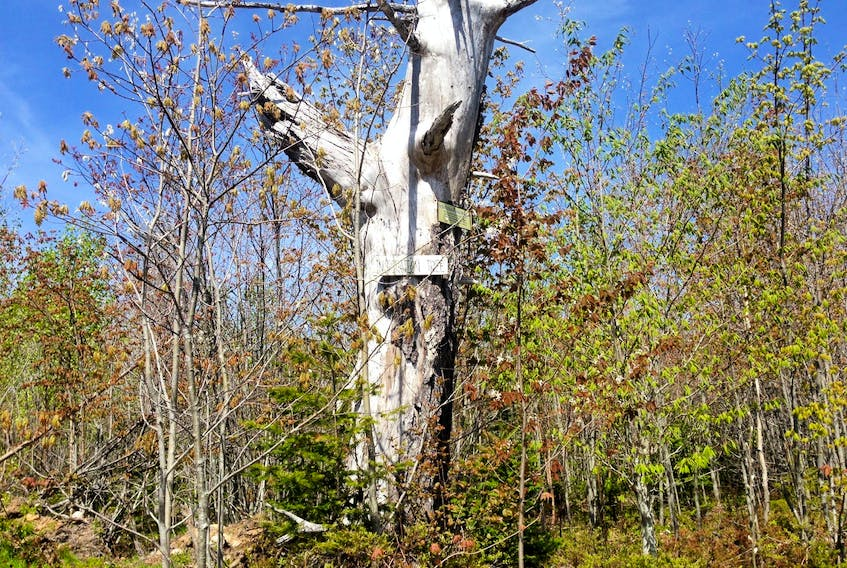 The scorched, leafless Inspiration tree is one of the milestones hikers can use to measure their progress when hiking to Roxbury, an abandoned logging village in Annapolis County.