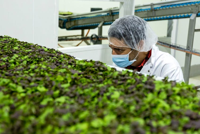An agronomist works at a vertical farm in Ontario.