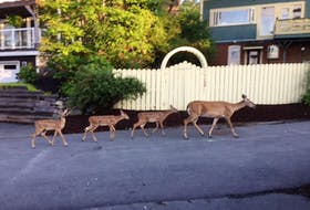 """Deborah Smith sent this photo of a few visitors in her Bedford, N.S. neighbourhood early one August morning. She said the mom arrived via a neighbour's backyard and was followed by each of the three offspring. The group visited the waterfront and ambled down to Shore Drive. """"What a sight! Absolutely one of my favourite summer memories!"""" What a sight indeed. Thank you, Deborah, for this wonderful photo."""