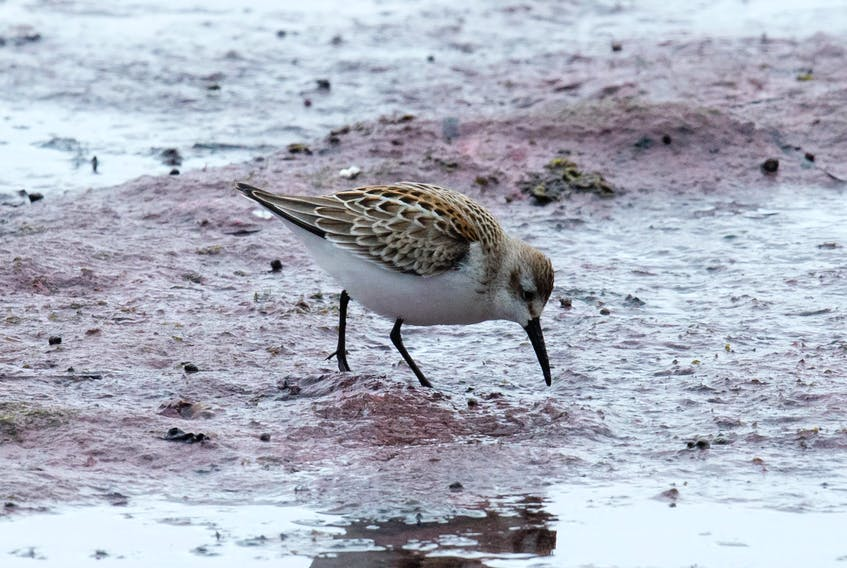 The orange feathering in the back and the long bill slightly curved near the tip are the patented field marks of the rare western sandpiper.