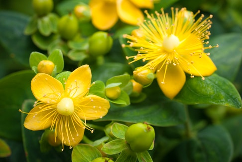 Around St. John's Day, the perennial herb St. John's wort blooms. It is a tradition to pluck some on St. John's Eve.. Alexander Raths
