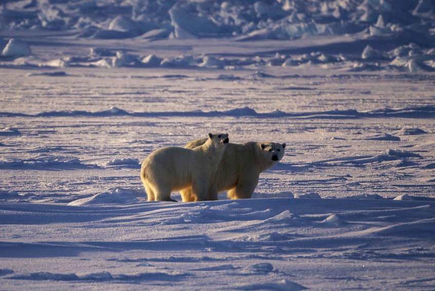 Polar bears near HMCS Harry DeWolf.
