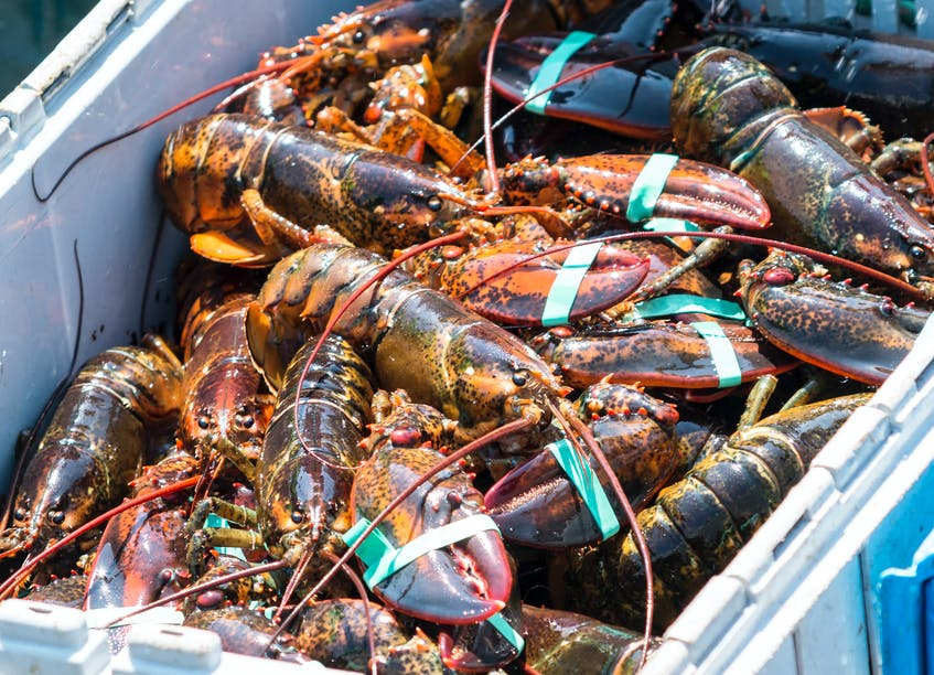 The 2021 fall lobster season is thriving with strong catches and high prices.  Although some harbours are noticing they're down slightly – around 10 per cent from last year – the price is way up due to high demand. - 123RF Stock Photo