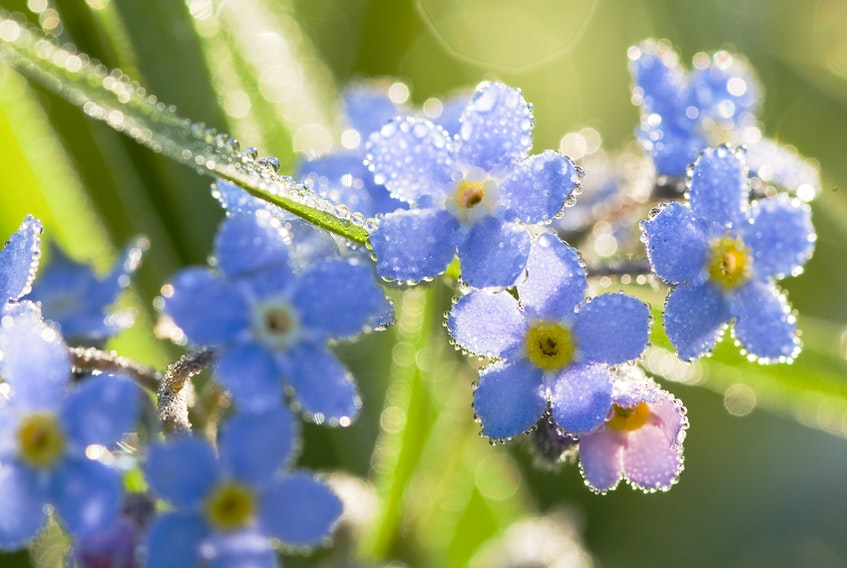 Dew on spring flowers is pretty. Is dew on your face good for your complexion? -  yannikap