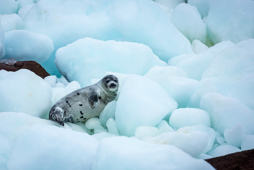 Young harp seal on pack ice and coastal rocks of Newfoundland and Labrador