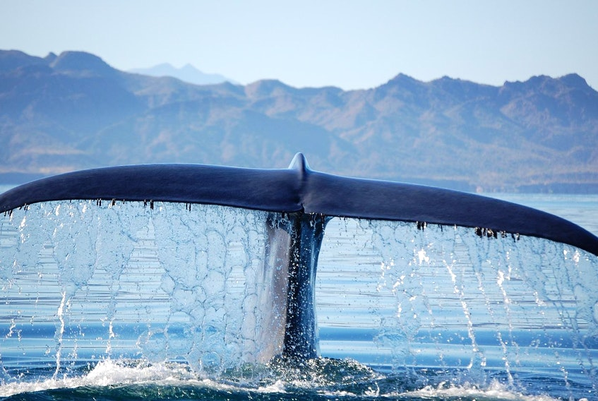 The tail of a blue whale is seen in a file photo. A University of California research team tracked the response of blue whales to 42 sonar tests over five years. - Contributed