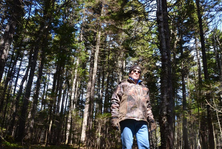Peter Spicer runs Seven Gulches Forest Products with his wife, Pat. He is pictured in a stand of mature red spruce on the 650 hectare woodlot his family has managed in Spencer's Island, Cumberland County, for seven generations.