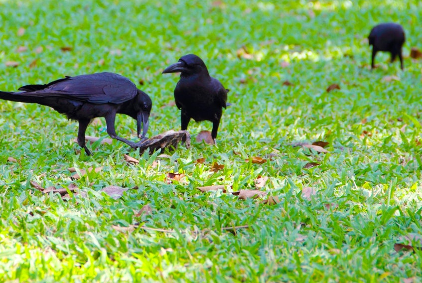 The crows are eating the grubs in your lawn and the grubs are happily snacking on the roots of your Kentucky Bluegrass.