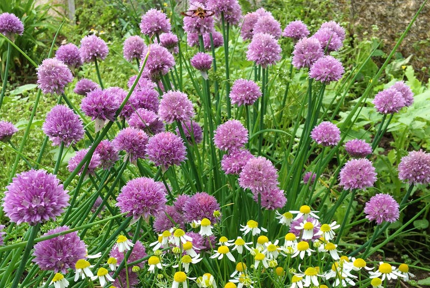 Chives and chamomile are two easy-to-grow herbs used in cooking and herbal teas.