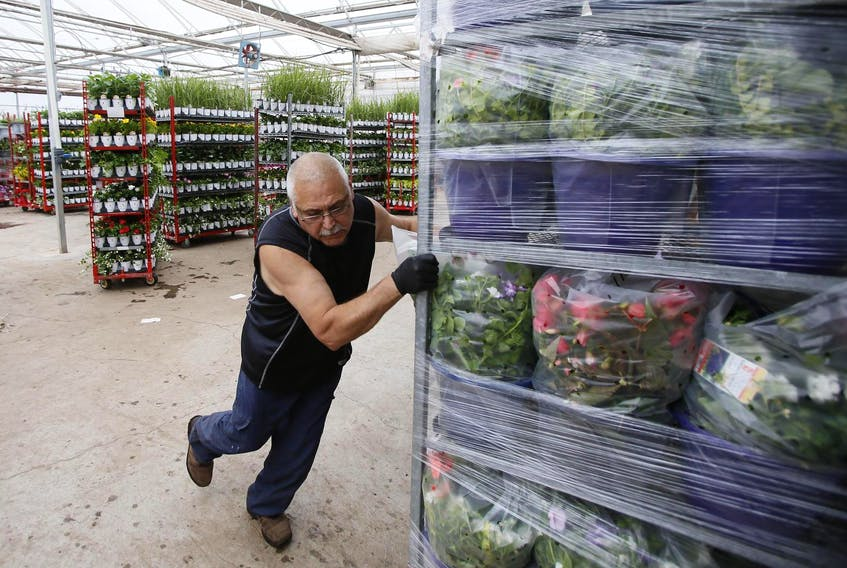 Randy John pushes a stack of potted plants toward a delivery truck at Forest Glen Greenhouses in Brookfield, Colchester County. The past month of very rainy weather has caused low sales of garden plants and sellers are hoping this weekend's forecast changes that.