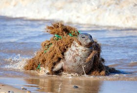 This seal tangled up in a stray fishing net was eventually freed, but many others aren't so lucky. So-called ghost gear is a lesser-known but significant source of ocean plastic pollution, writes Lynn Kavanagh. - Ian Dyball