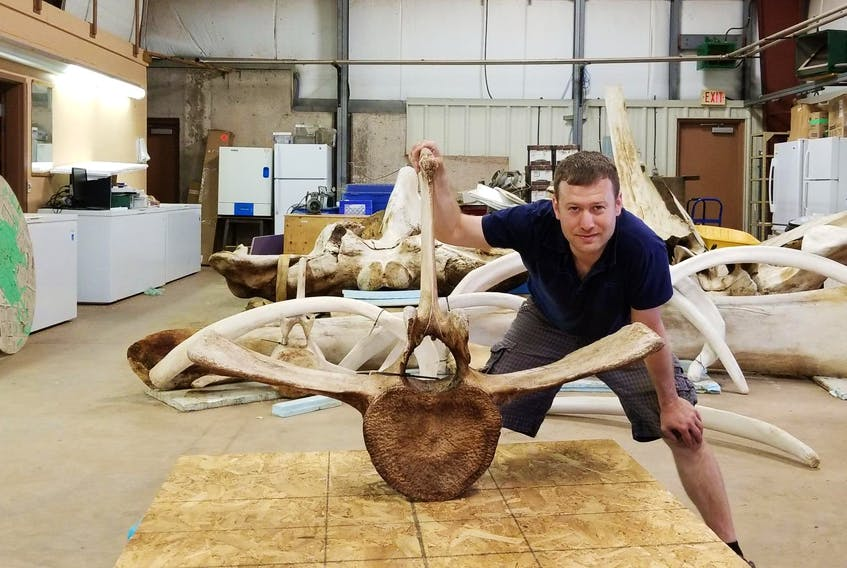 Chris Nelson, senior instructor in the Engineering Department at Dalhousie University, poses with skeleton parts of a young blue whale that washed ashore in Nova Scotia. - Dalhousie University