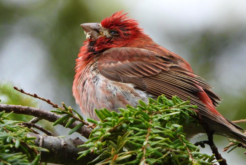 A male purple finch, which was photographed in Ben Eoin on Friday, showed the telltale signs of trichomonosis: regurgitated food, difficulty swallowing and lethargy. - Jeannie Fraser