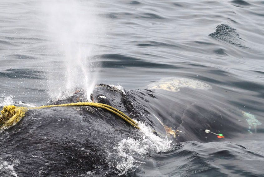 A North Atlantic right whale is tangled in fishing rope off Massachusetts. Researchers say a recent study proves most right whales die because of human activity. - File