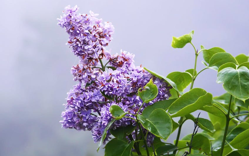 The key to pruning all lilacs is timing. You should only prune a lilac in the first three weeks after it finishes blooming.  - 123RF Stock Photo