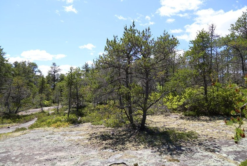 A jack pine is seen in the Williams Lake area near Halifax. A conservation project aims to preserve ? /hectares of land that includes rare jack pine barrens habitat. - Contributed