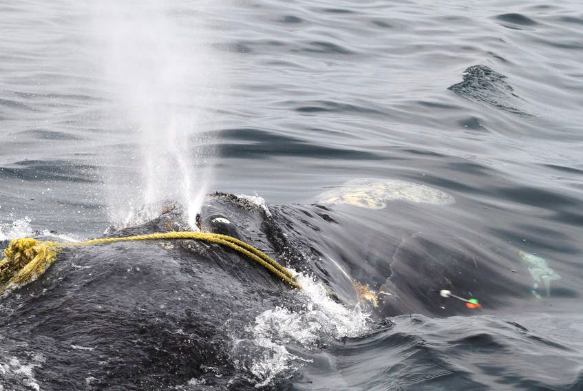 A North Atlantic right whale is tangled in fishing rope in the Atlantic Ocean. DFO and the Canadian Coast Guard have completed Operation Ghost, a mission to search for and retrieve lost fishing gear in the Gulf of St. Lawrence. - Center for Coastal Studies